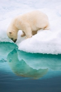 Polar Bear Cub studying his reflection in Norway (x)